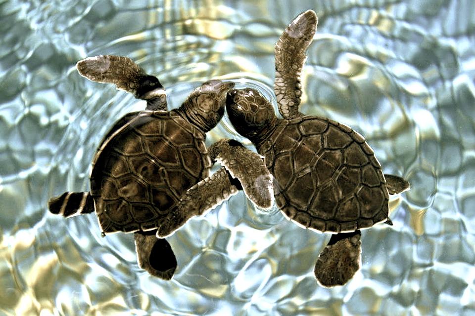 baby sea turtles thecuriosityworkshop.com
