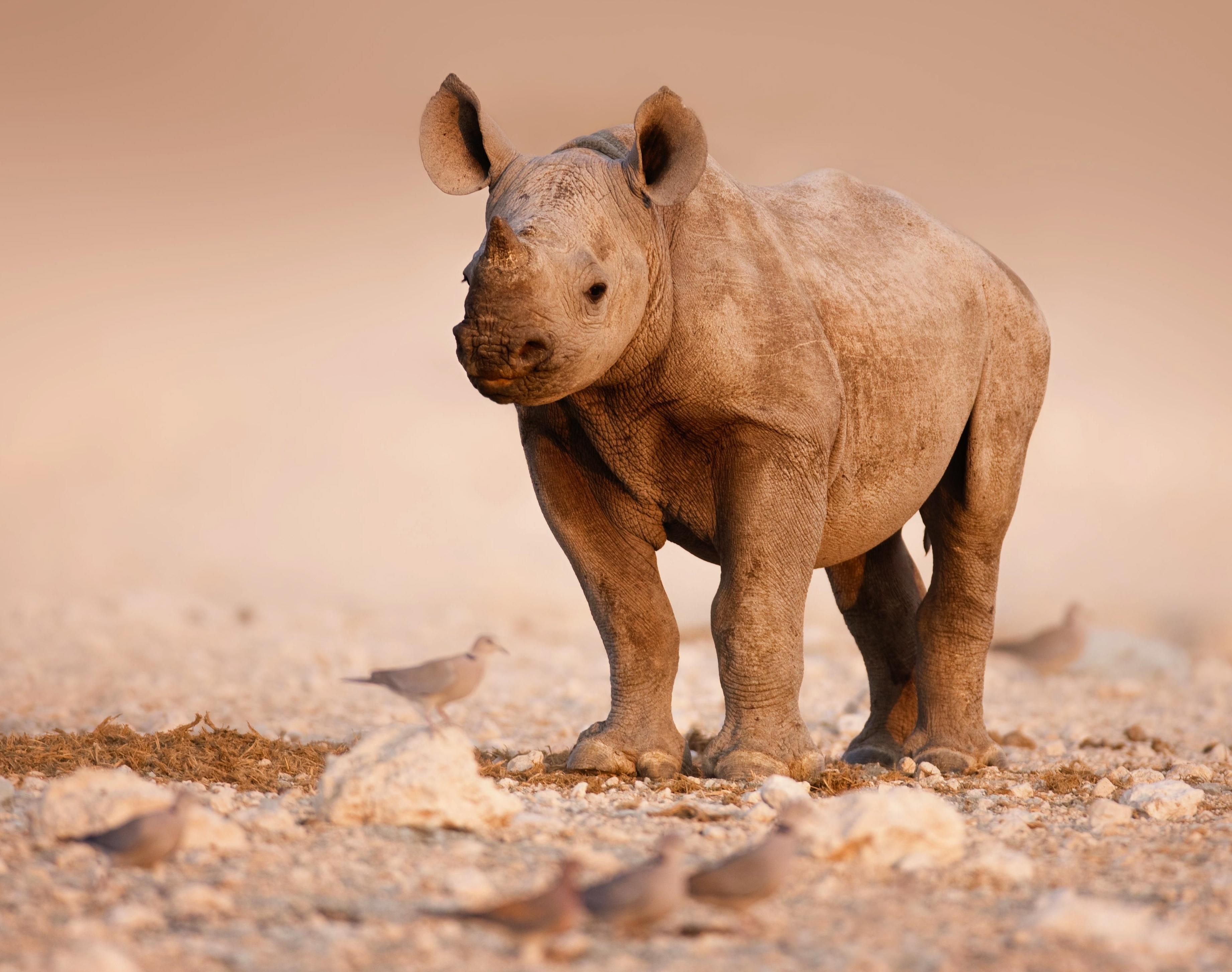 Javan rhino baby