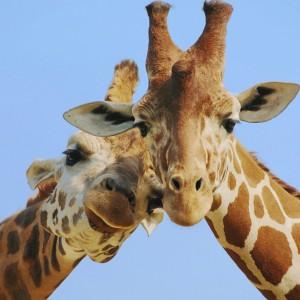 giraffe hum