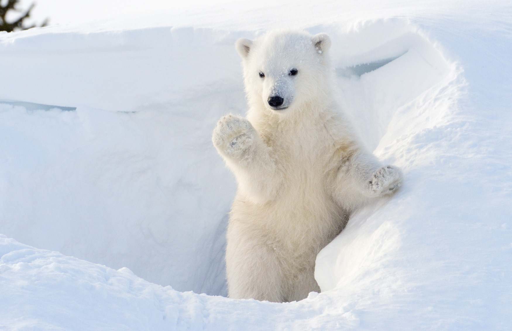 Polar bear (Ursus maritimus) cub coming out den and playing around, Wapusk national park, Canada.