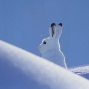 Lepus Arcticus #getcurious thecuriosityworkshop.com