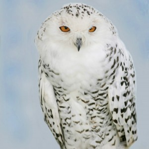 snowy owls copy 2