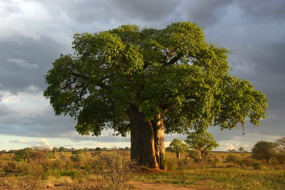 baobab/thecuriosityworkshop.com