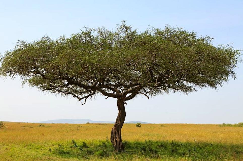 acacia #getcurious