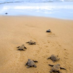 baby-sea-turtles-thecuriosityworkshop.com_