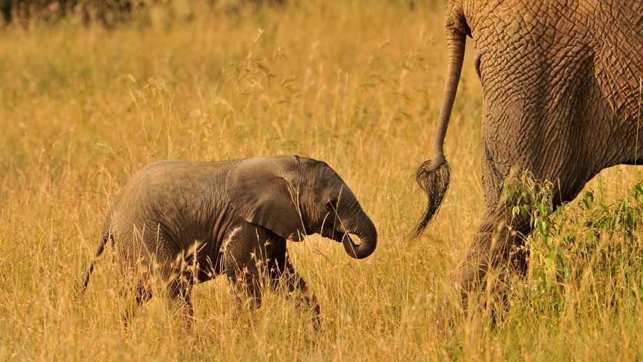 26177875 - elephant, tusk and herd