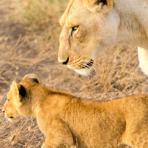 A mother lion and her cub in Serengeti.