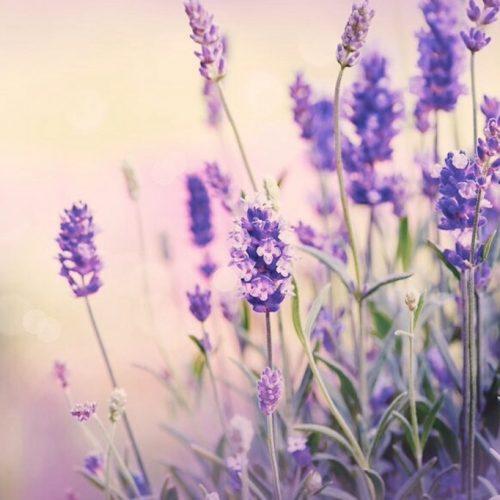 18697334 - lavender field